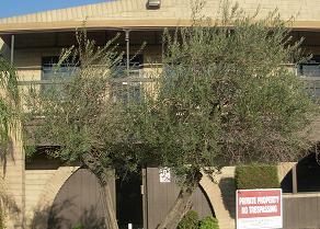 Olive Tree at FPA